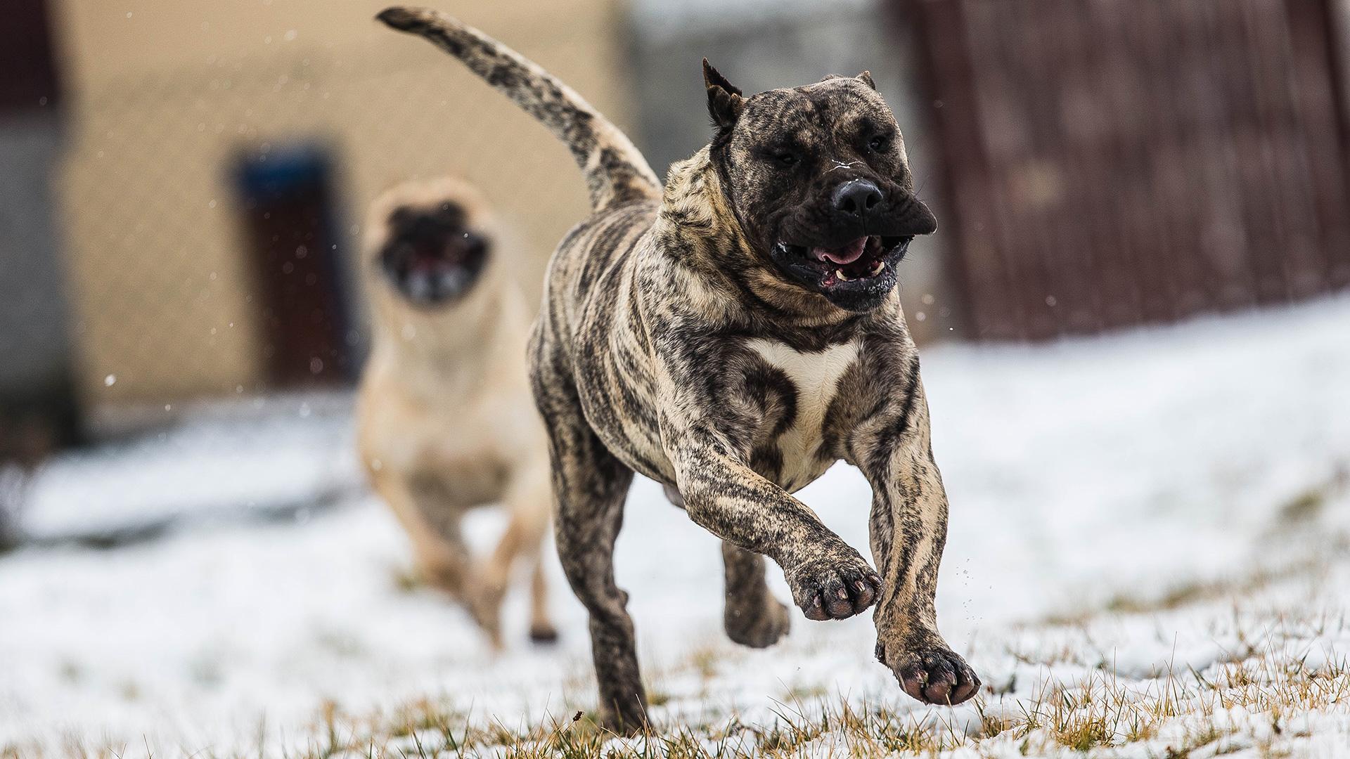 Dogo Canario - Agbar Tirke Bull
