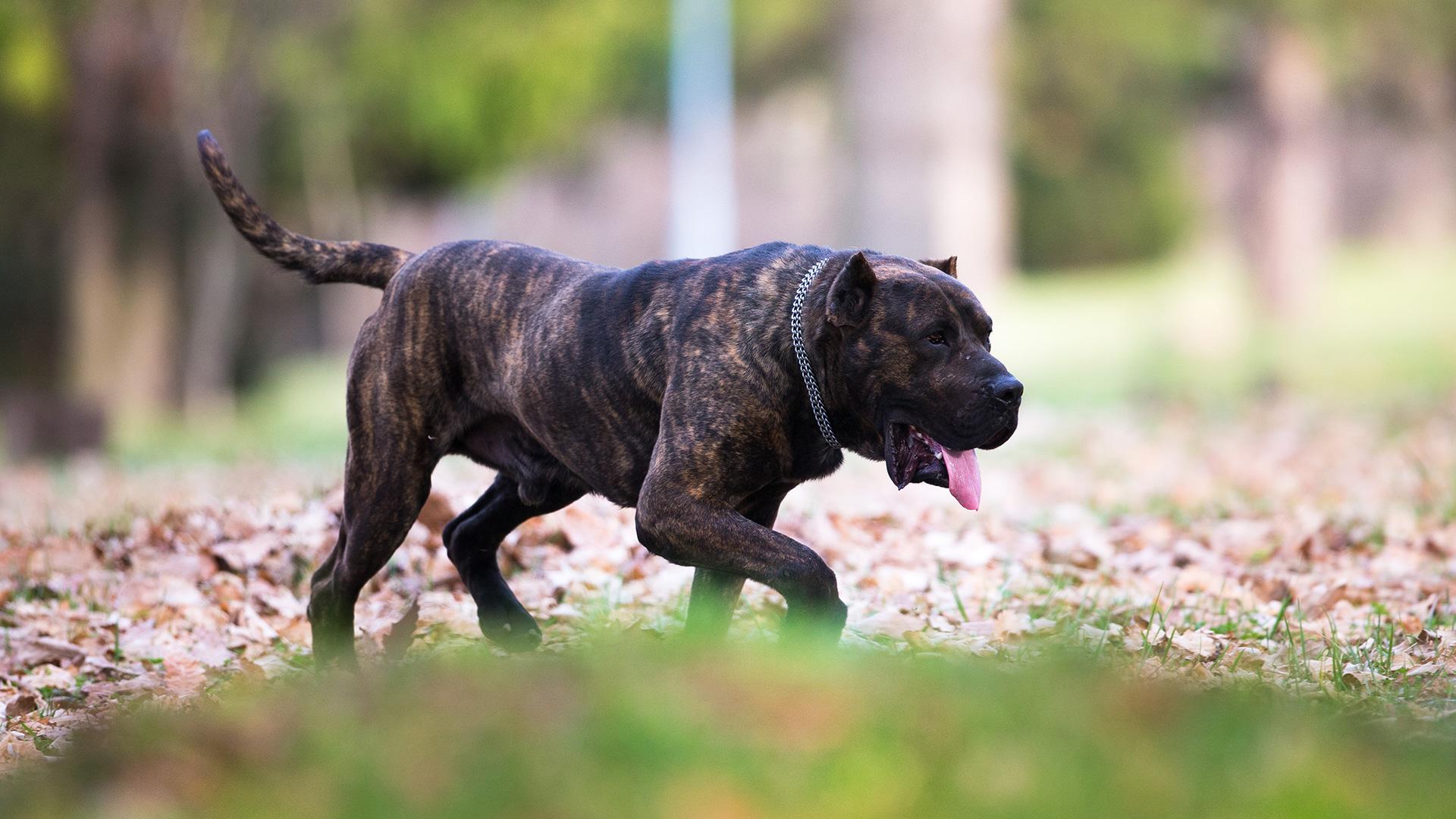 Dogo Canario - Apolon Djordjoni