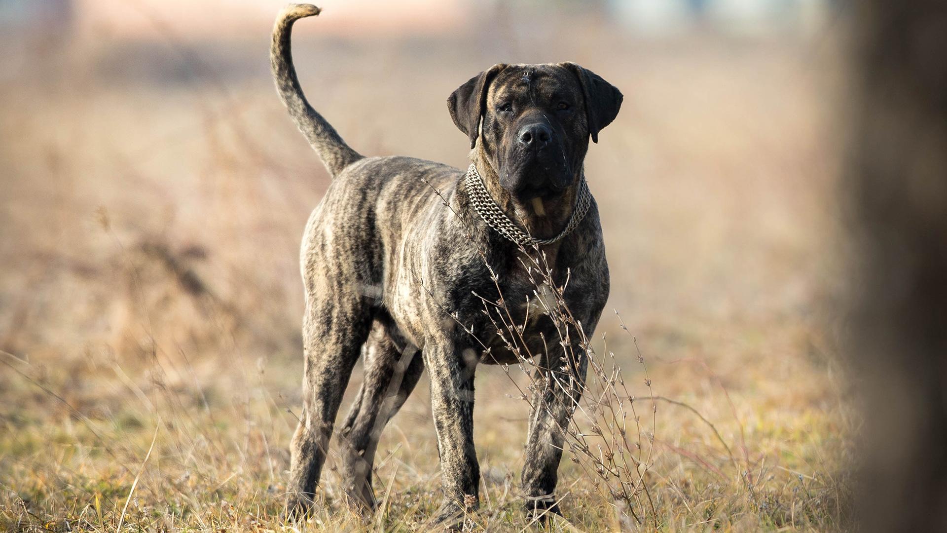 Dogo Canario - Aron Junior