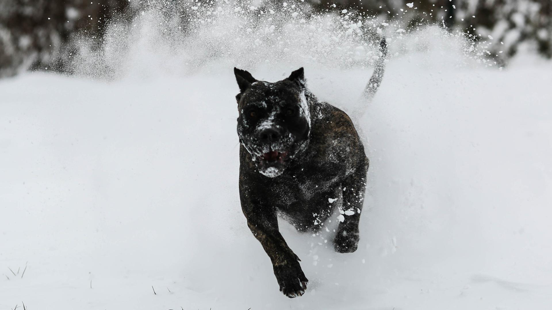 Dogo Canario - Banda